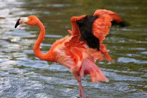 Пламенный фламинго