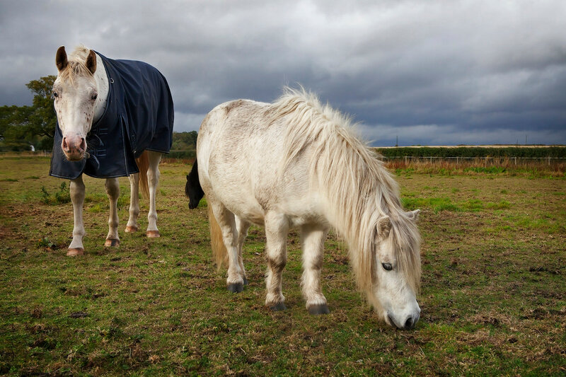 white horse in horse cloth and pony