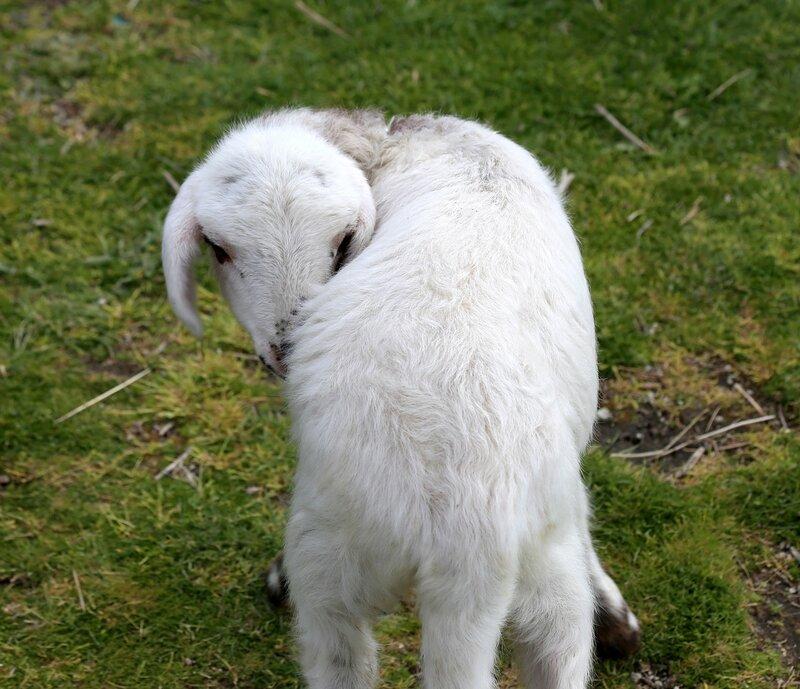 Искья, гора Эпомео. Овцы.