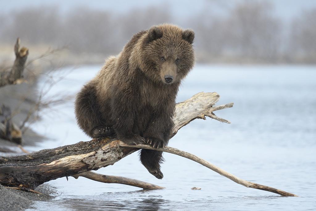 «На снимке медведица Натали со своим выводком из трех сеголеток. В середине лета эта семья появ