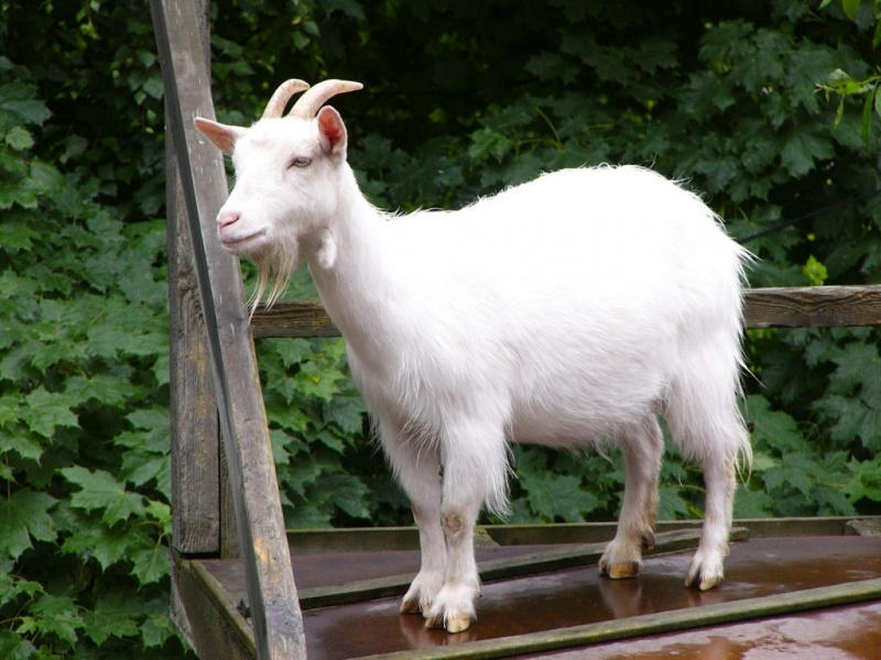 как выбрать козу