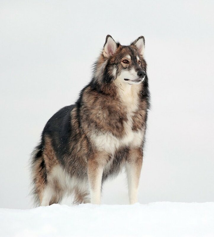 Аляскинский маламут + хаски + немецкая овчарка