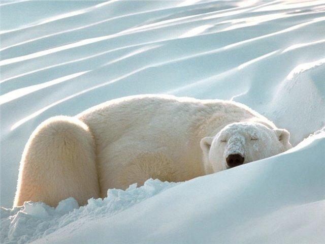 белый медведь, снег, спит.