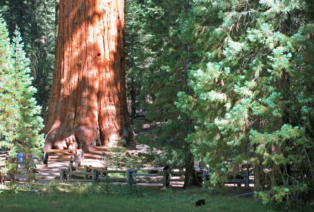 sequoia_bear_5.jpg