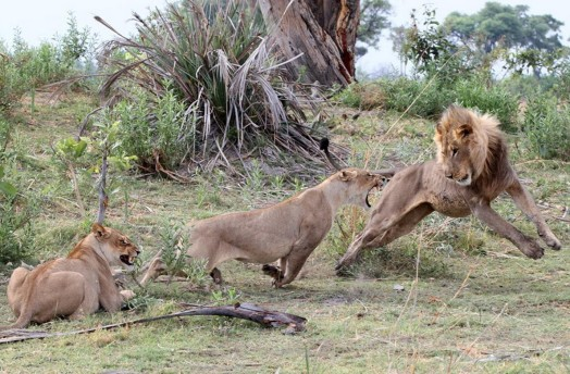 Львица оставила в живых детеныша бабуина 0 11e70c 11d3f473 orig