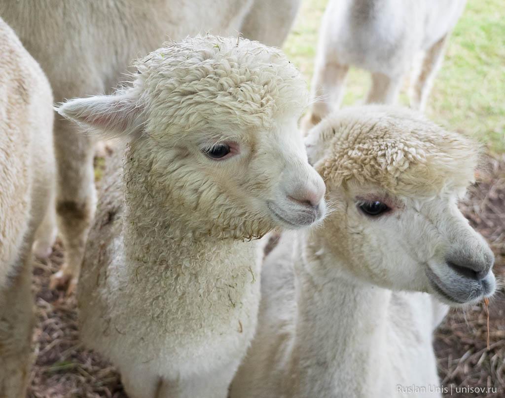Ферма с альпаками и пошив одежды