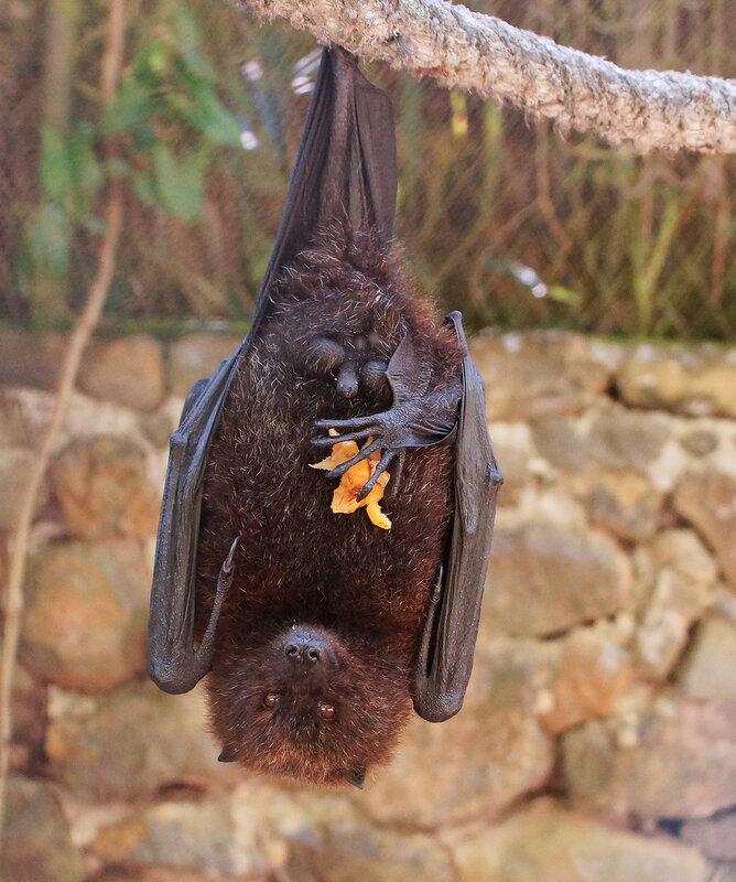 Крылан Pteropus rodricensis