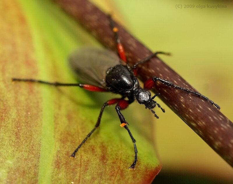 Уф, устала жить в этом холоде… / Комар-толстоножка Bibio pomonae, самка, семейство Толстоножки Bibionidae, отряд Двукрылые