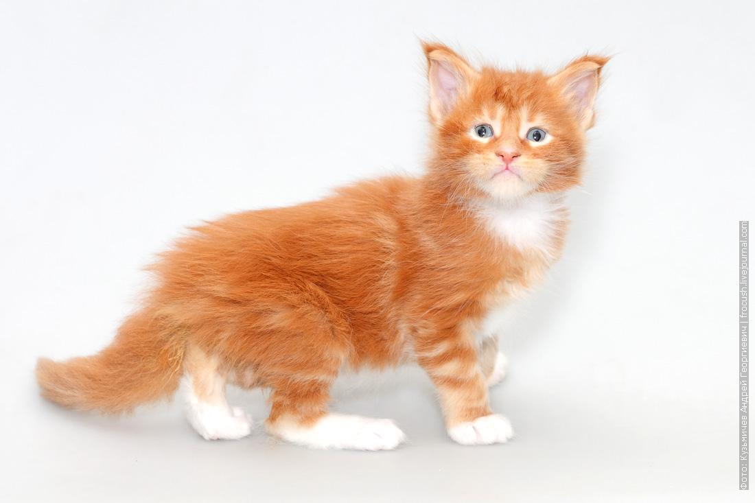 красный с белым котенок мейн-кун