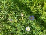 зацвели Сентябринки в июне, из-за дождливой погоды перепутали своё время цветения