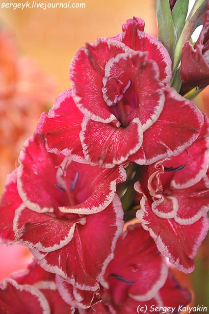 19 Gladiolus Irji Vaclavik (7).jpg