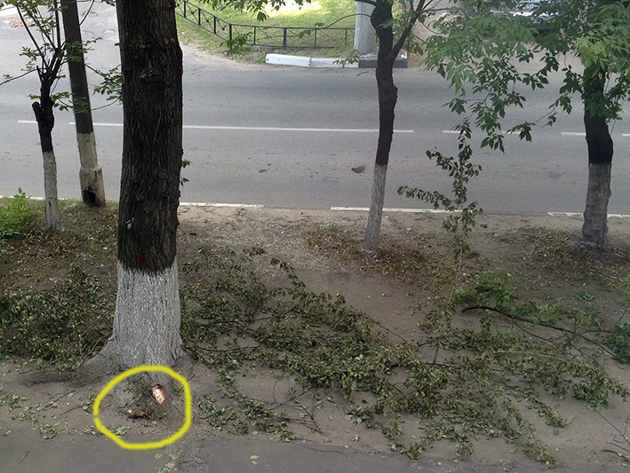 тополь поврежден у корней колесами трактора рабочих.jpg