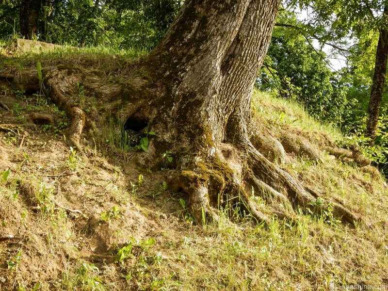 Корни дерева, Лопатинчкий сад, Смоленск