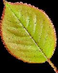 NLD Leaf tulle.png