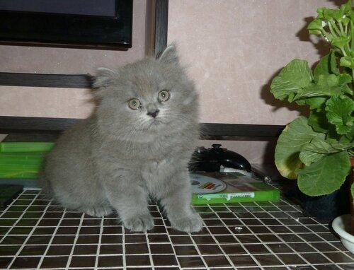 Британские котята из питомника Camelot Castle 0_111681_1f6fb305_L