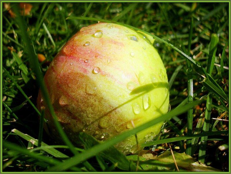 Падают яблоки спелые, жёлтые Оземь. И брызгами в разные стороны.