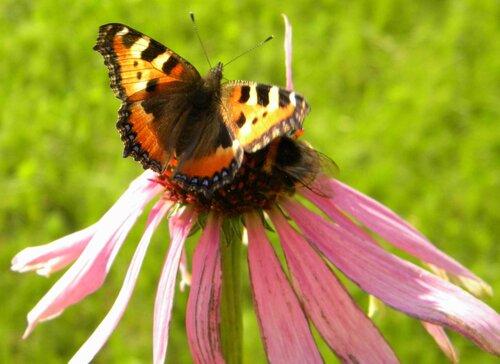 Бабочка и шмель