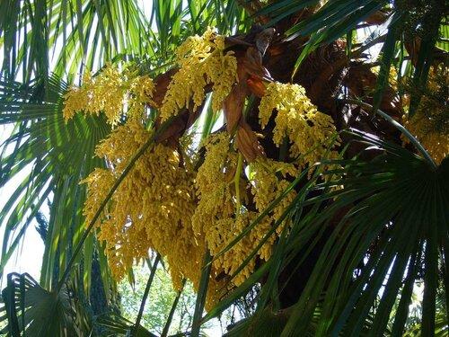Цветет пальма