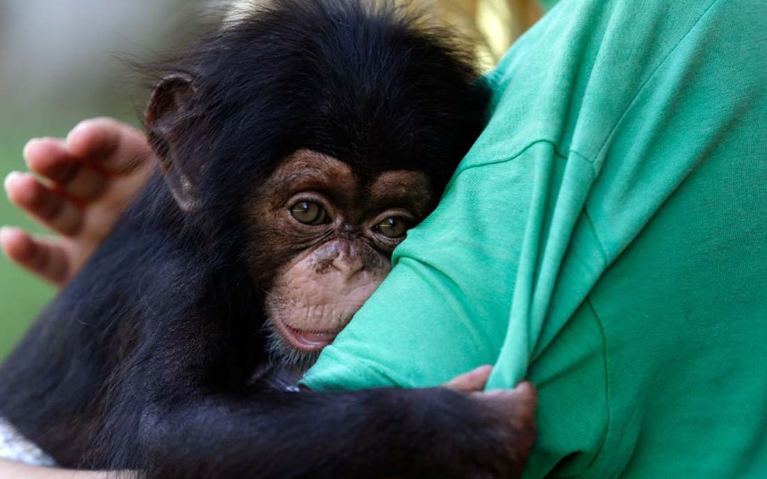 Мама 3-х месячного шимпанзе Ясона заболела после родов. И он вцепился в голландку Алису Гугенбом. Она заботится о нём как мама.