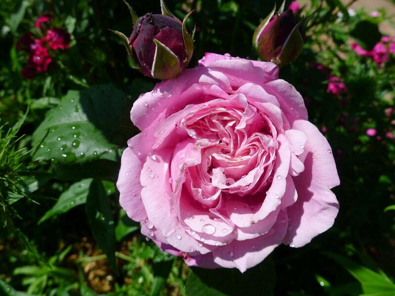 Дитер Мюллер - розовый зефир