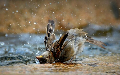 купание воробья