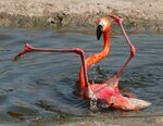 Чудесное купание фламинго