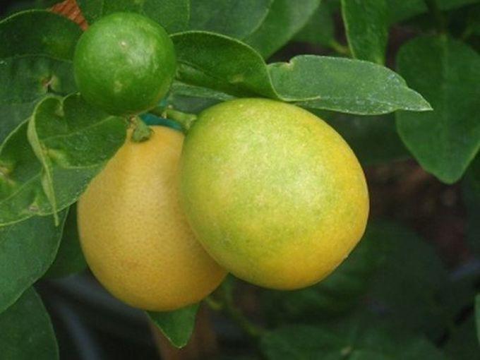 Лемато — помидор с запахом лимона