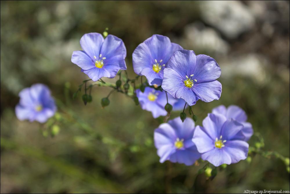 Лён австрийский (Linum austriacum)
