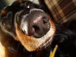 кожаный нос