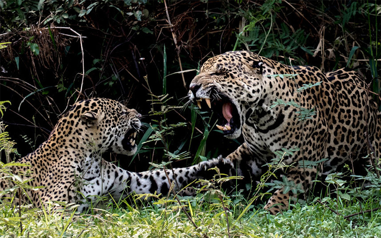 A couple of jaguars claw and snarl at each other during courtship in the Pantanal in Brazil