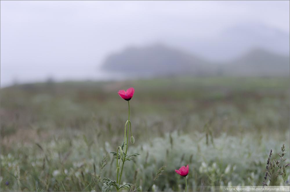 тюльпаны и маки