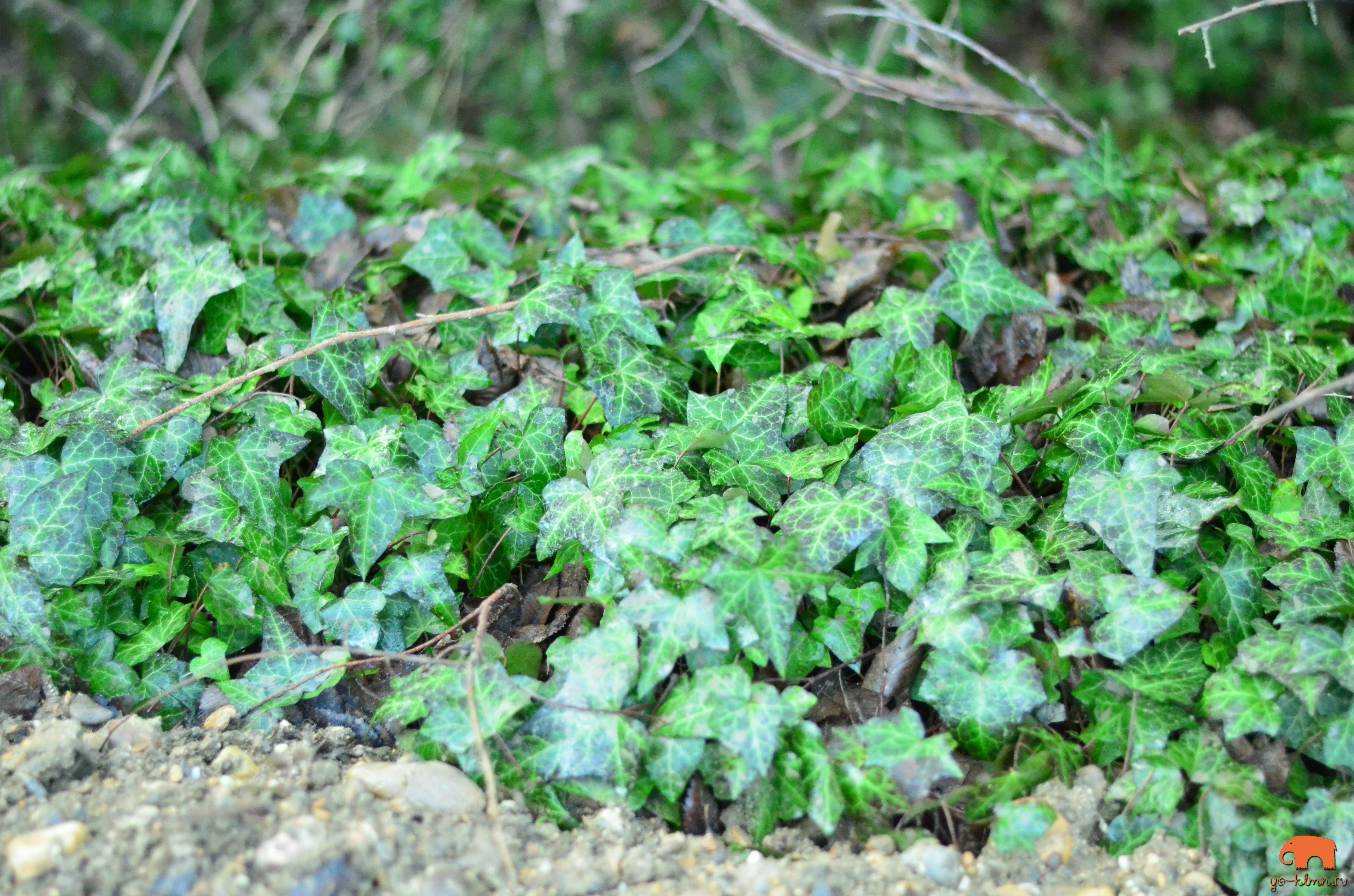 зеленый изумрудный плющ много || yo-klmn.ru
