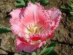 tulip`s paradise