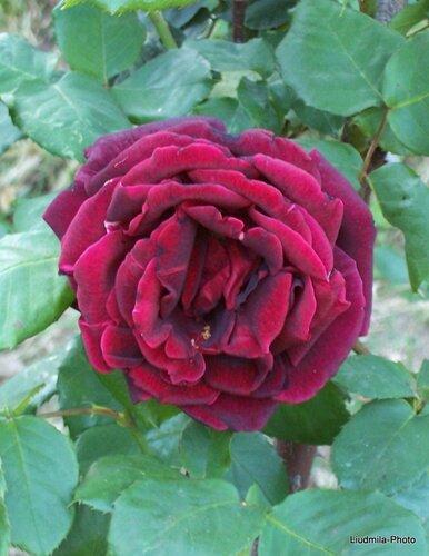 Розы В Мае