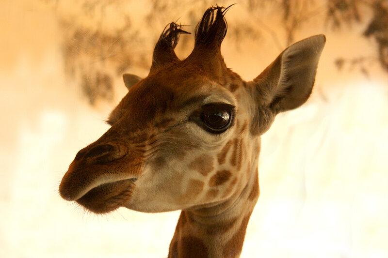 Картинках, картинка жирафа прикольная на аву