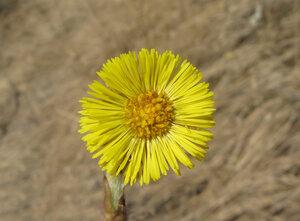Мать-и-мачеха (Tussilago farfara)Альбом: цветы и другое
