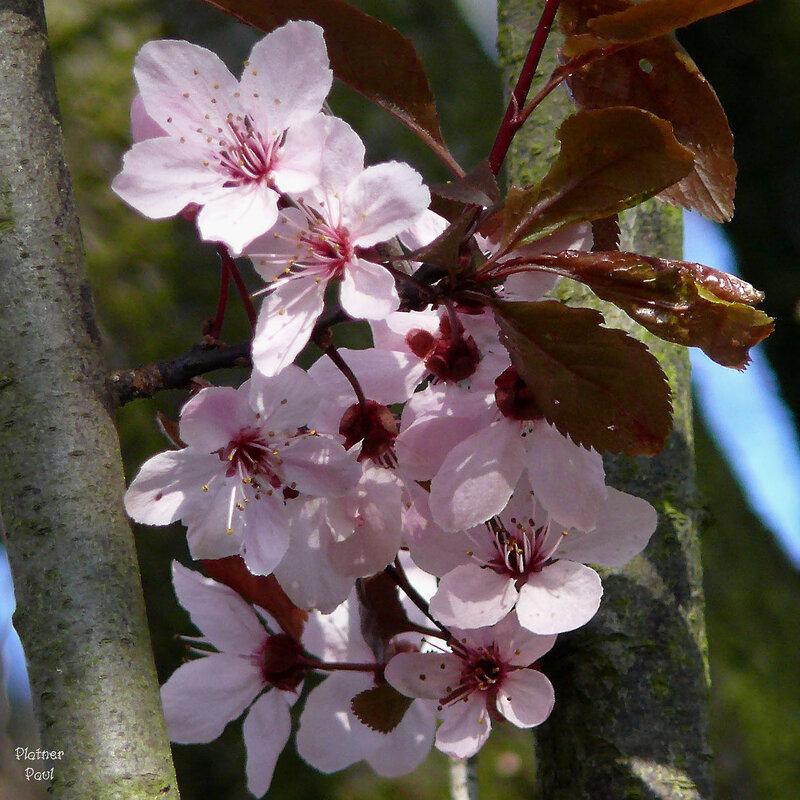 Аромат цветущей вишни....