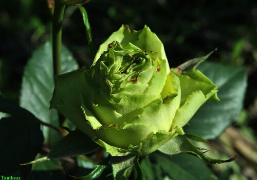 """Роза чайно-гибридная """"Лимбо"""" / Rosa tea-hybrid """"Limbo"""""""