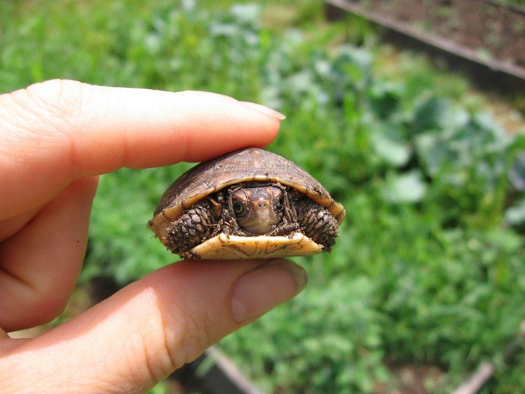 Маленька черепаха