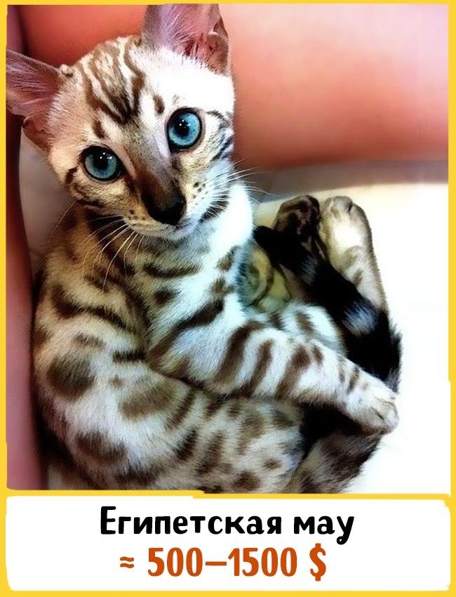 © pouted.com  Внешность этих кошек мало изменилась за3000 лет— современ Древнего Египта. Пя