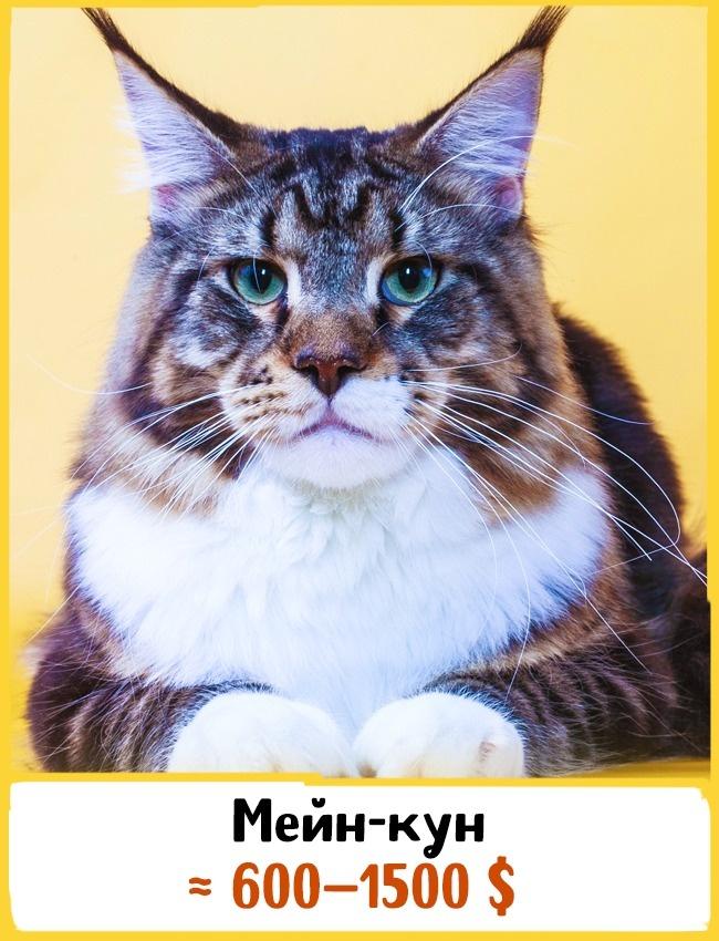 © findpik.com  Это одна изсамых крупных пород кошек. Представители данной породы могут весить