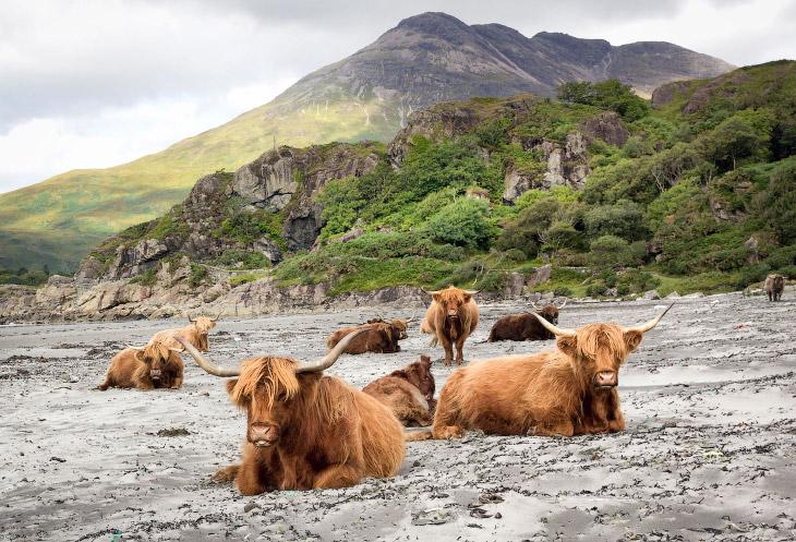 1. Считается, что коровы неповоротливые и даже «тормозные», но это не совсем так: они умеют дов