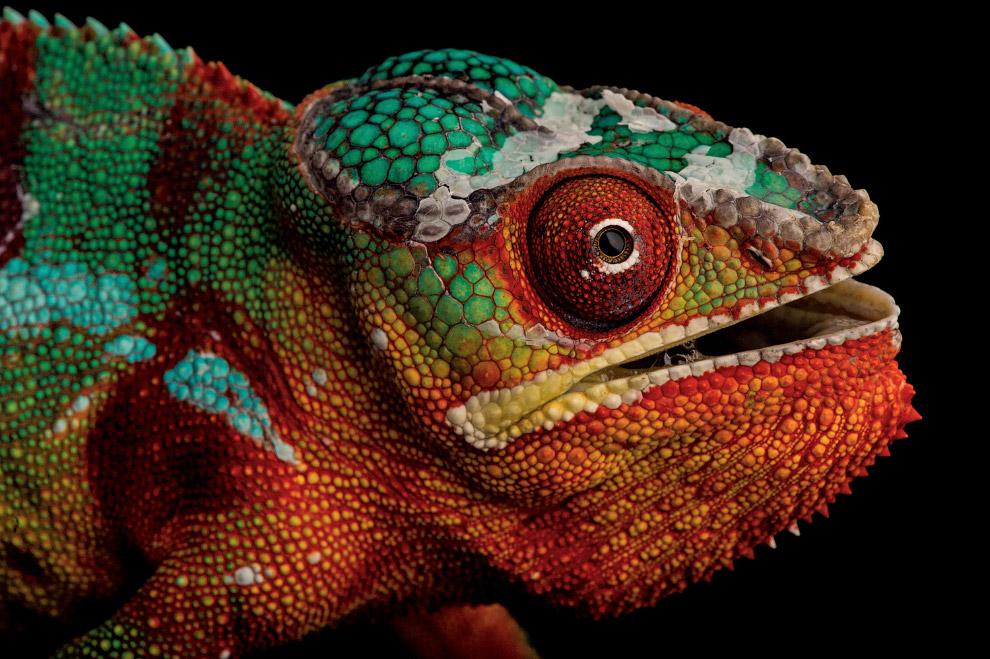 13. Рыжеплечая хоботковая собачка. Характерным признаком вида является длинная, подобная хоботу