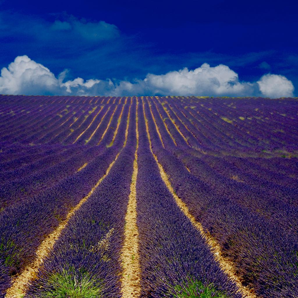 Франция. Область Прованс. Лавандовые плантации. (Vincent Brassinne)