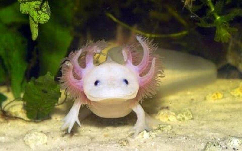 Улыбчивый аксолотль! Забавные животные в домашнем аквариуме