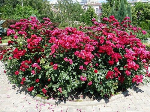Клумба красных роз