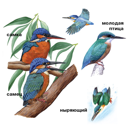 obyknovennyy-zimorodok-guide-(onbird_ru).jpg