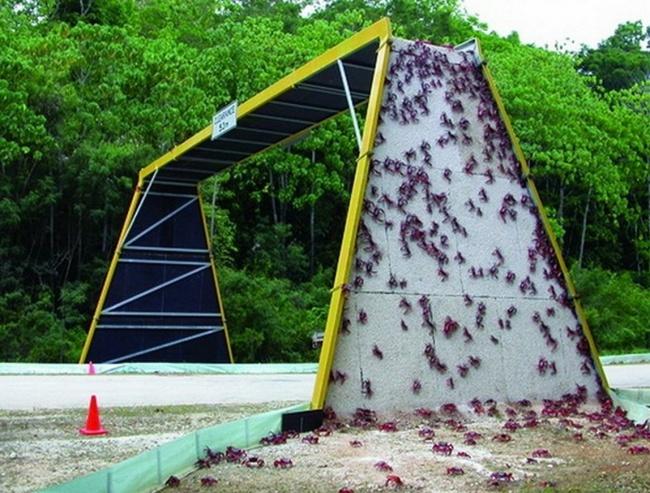© abc  Одна изконструкций, созданных для поддержки уникальной миграции миллионов красных краб