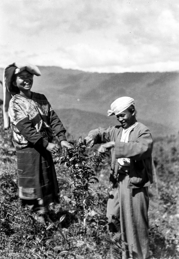 956. Сбор чайных листьев