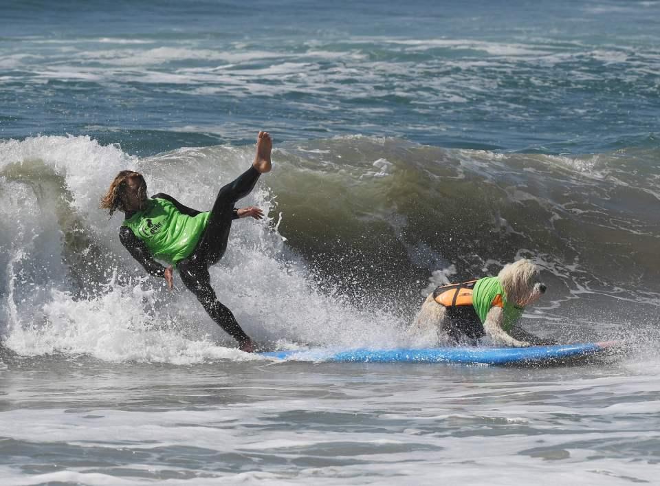 Surf dog Kona Kai the Labradoodle and ow